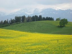 yellow mountain meadow in the alps