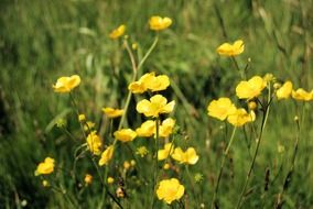 yellow buttercups on the wild meadow