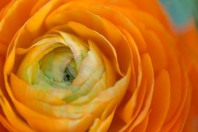 closeup of an orange rose flower