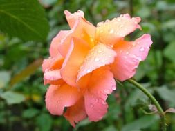 side view of orange rose in dew drops