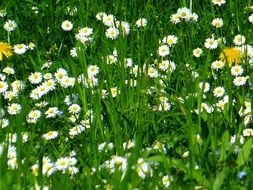 yellow dandelions on a camomile field