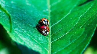 Mating ladybugs on a green leaf