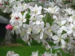 blooming crab apple tree