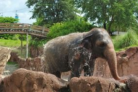 young elephant bathing at zoo