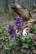 purple corydalis flowers in a forest