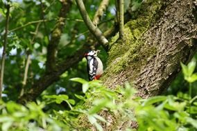 foraging great spotted woodpecker