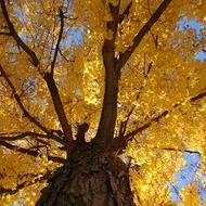 bottom view of an autumn tree