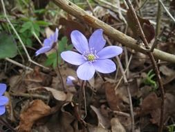 blue anemone in nature