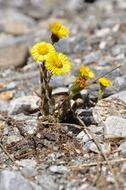 blooming yellow alpine flowers in the stones