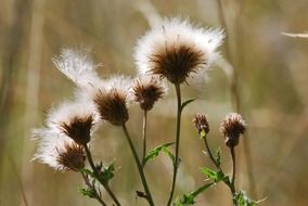 withered thistle flowers