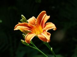 yellow red daylily blossom