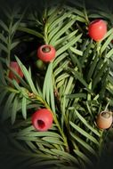 taxus bush with berries