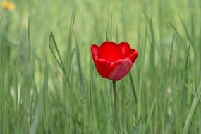 red tulip on the green meadow