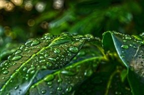 green leafs with water drops macro