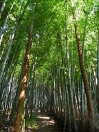 bamboo tree forest in Japan