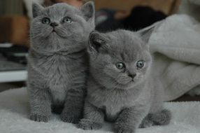 two gray scottish kittens