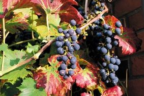 ripe autumn black grapes