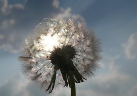 dandelion light sun sparkle