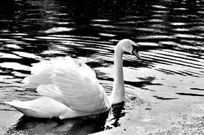 white graceful blessed swan