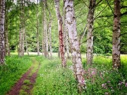 path in the birch forest