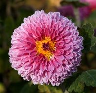 pink chrysanthemum with yellow center close-up