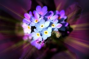 Flower of forget-me-not macro phot