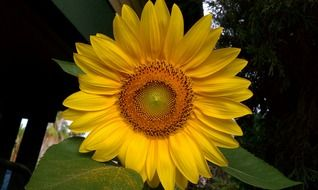Sunflower with large leaves close-up