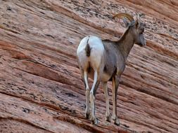 mountain goat in the sandstone in Zion National Park