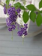 Violet flowers of the Duranta plant