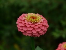 pink zinnia with yellow stamens