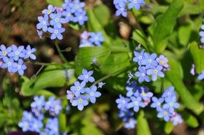 forget me not cute blue flowers