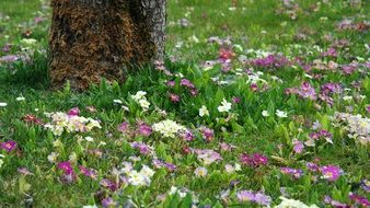 lot of colorful primroses on lawn beneath tree