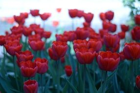 Red flowers tulip field