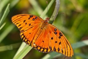 gulf fritillary butterfly insect close up
