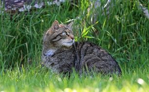 сute scottish wild cat