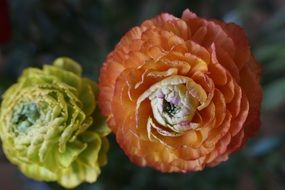 yellow orange ranunculus flower blossom