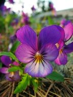 wild violet pansies close up