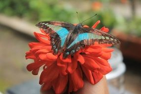 blue with black butterfly on red flower