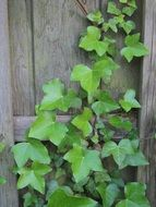 climbing green plant on a wooden fence