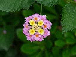 ornamental plant lantana on a branch