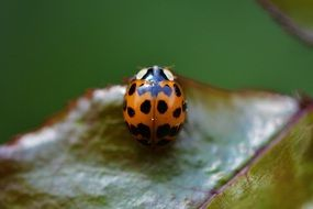 ladybug insect close beetle nature