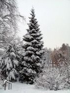 tree winter snow snowy fir forest