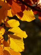 autumn beech leaves in the glare of light