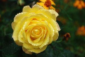 delicate yellow rose after rain