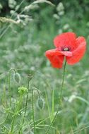 red poppy on a green meadow