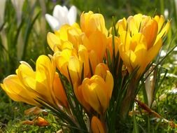 cheerful yellow crocuses