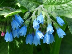 blue rough comfrey flowers
