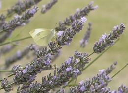 magnificent lavender and butterfly