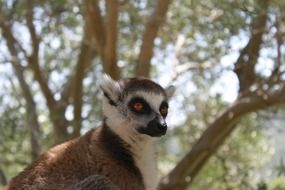 Picture of the wild lemur
