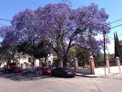 purple jacaranda on a city street